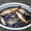 Carpe e carassi rischiavano di morire nei laghetti, salvati dall'associazione Amici della Valle dell�Irno