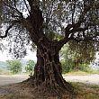 Agropoli Notizie foto - 05102018 albero monumentale castello Agropoli
