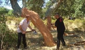 sughera albero