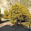 Ambiente foto - 11042018 mimosa gigante nel parco