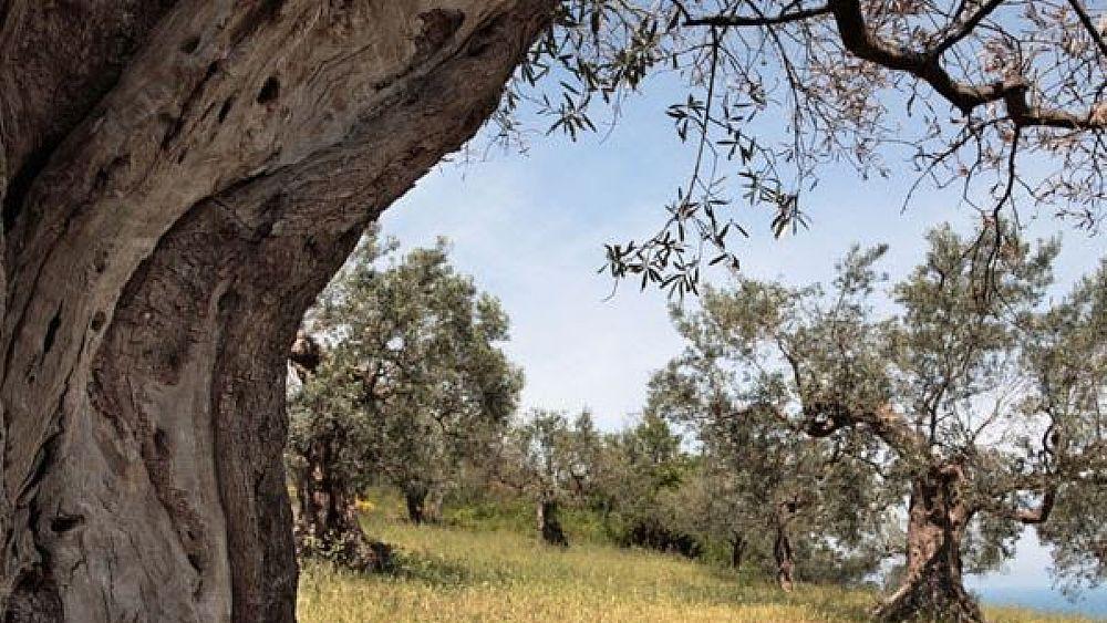 11102018 camminata olivi