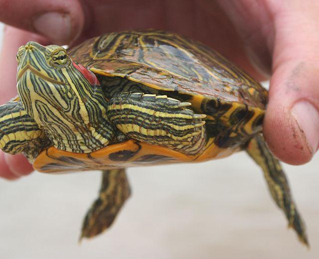 Paestum trovata in mare tartaruga d acqua dolce for Tartaruga acqua dolce razze