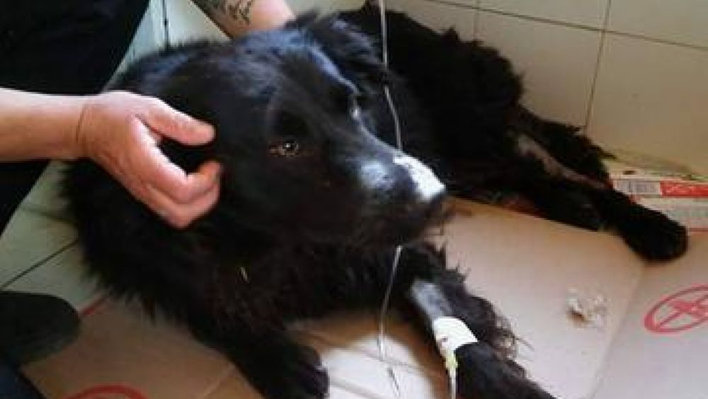 15042017 cane nerone capaccio