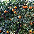 Cilento - Le ultime Notizie foto - 15102014 aranceti