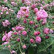 Economia foto - 17052017 belle rose rosa