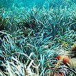 AgropoliNotizie foto - 17072015 posidonia oceanica