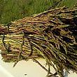 Cilento - Le ultime Notizie foto - 21052015 asparago selvatico
