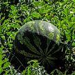 CilentoNotizie foto - 24052016 agricoltura anguria