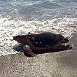 Cronaca foto - 25022015 tartaruga caretta caretta