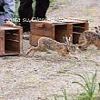 Cilento - Le ultime Notizie foto - 25112015 lepri italiche liberate nel parco del cilento