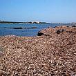 Cilento Notizie foto - 26012018 Posidonia spiaggiata