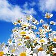 Cilento - Le ultime Notizie foto - 26032015 margherite in primavera
