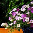 AgropoliNotizie foto - 27052016 borgo in fiore