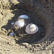 PalinuroNotizie foto - 27072017 nido tartarughe