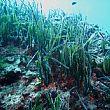 CilentoNotizie foto - 28092016 Posidonia oceanica
