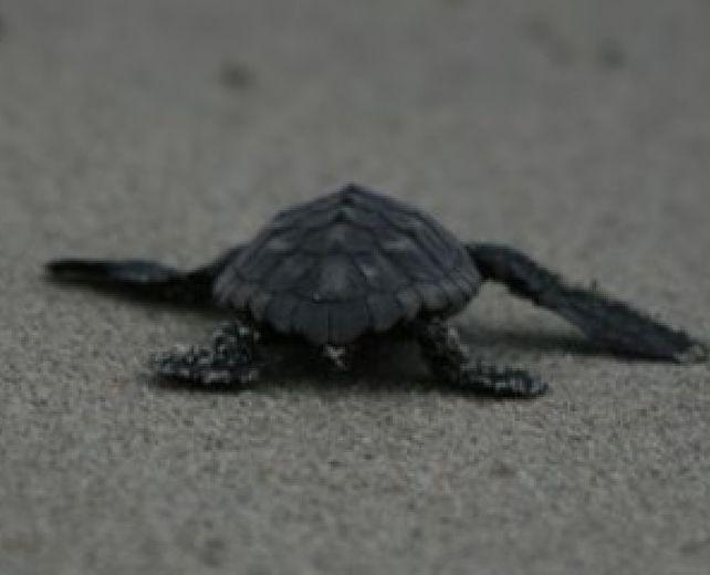 31072014 nidifica tartaruga
