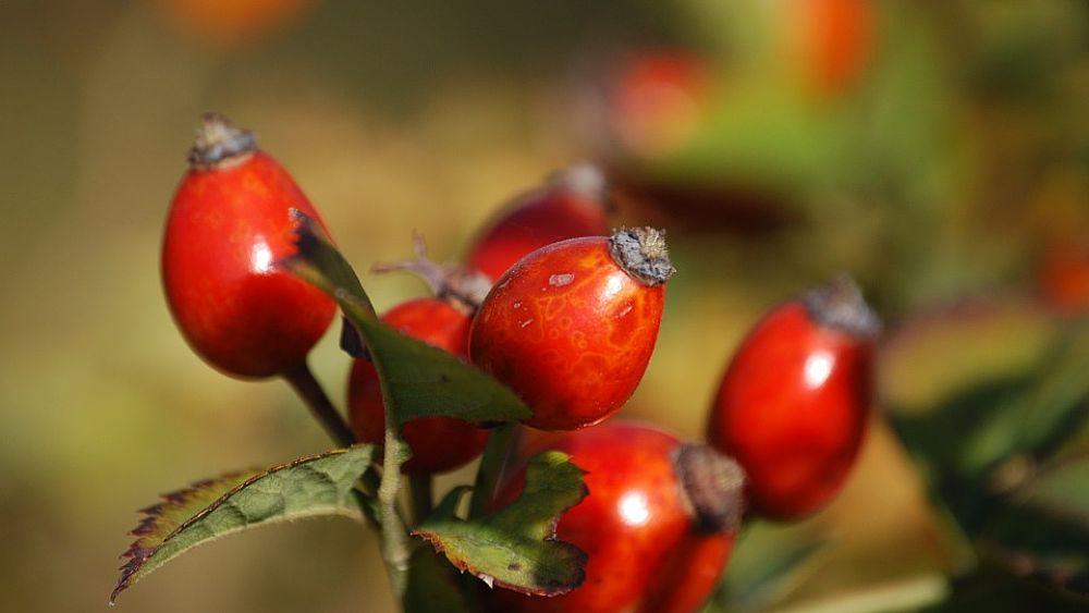 bacche rosse velenose