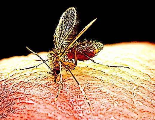 Rimedi zanzare e pappataci un 39 invasione come for Larve zanzare